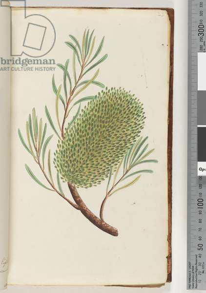 Page 23. Unnamed flowering plant (Watling 425/426) (w/c)
