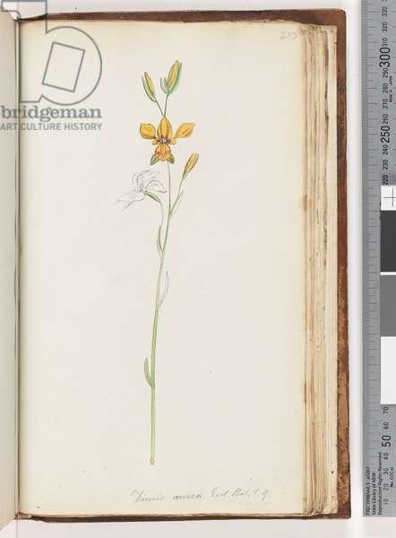 Page 213. Diuris aurea. Exot. Bot. t. 9.Golden Donkey Orchid (w/c)
