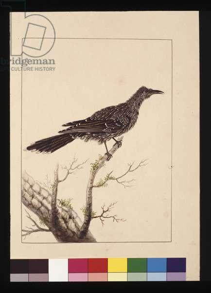 Page 26. Wattled Bee Eater female. Now known as a Little Wattle bird, c.1789-90 (w/c)
