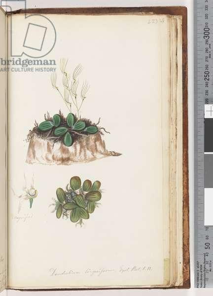 Page 223. Dendrobium linguiforme Exot. Bot. t. 11 Tongue Orchid (w/c)