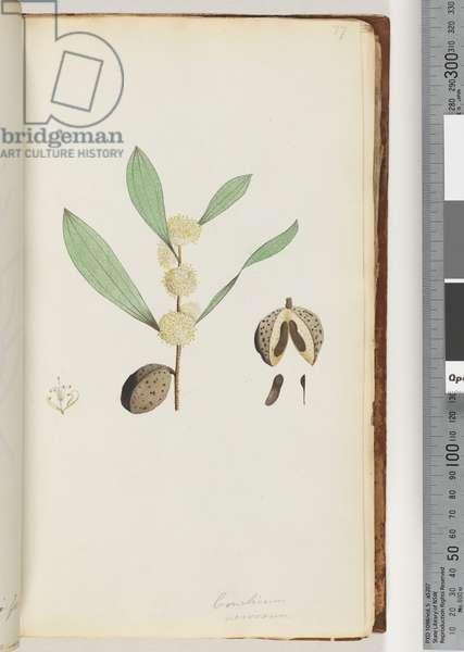 Page 37. Conchium nervosum (w/c)