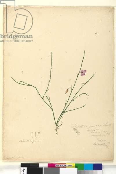 Page 67. Tetratheca juncea, c.1803-06 (w/c, pen, ink and pencil)