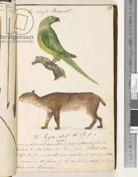 Page 13. The Ring'd Paraquet; the Lynx, about the size of a wolf, 1810-17 (w/c & manuscript text)