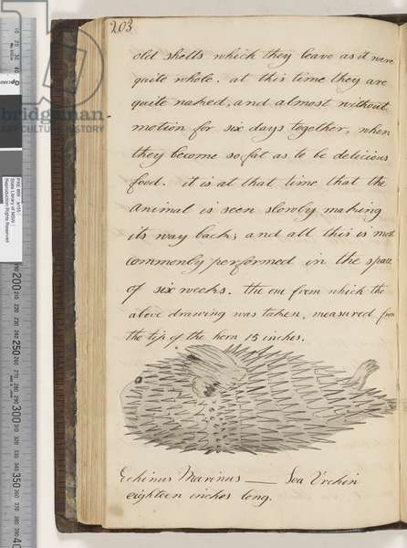 Page 203. Echinus Marinus, Sea Urchin, 1810-17 (w/c & manuscript text)