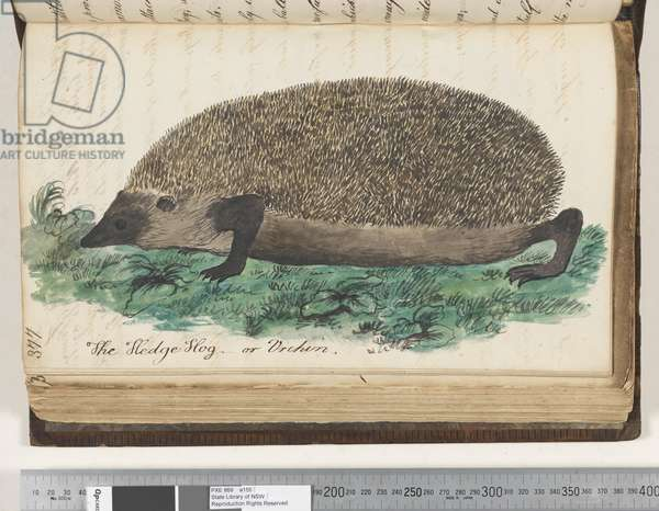 Page 377. The Hedge Hog or Urchin, 1810-17 (w/c & manuscript text)