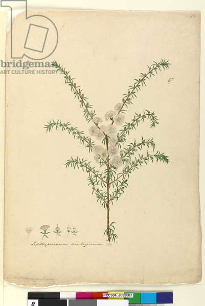 Page 87. Leptospermum ambiguum, c.1803-06 (w/c, pen, ink and pencil)