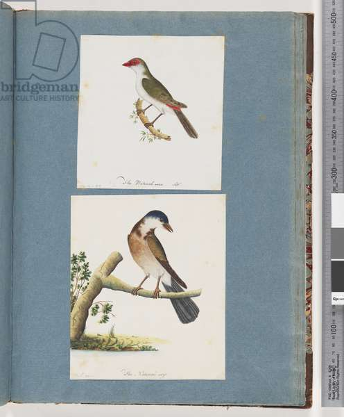 Page 105. Red-browed Finch. 106. Unidentified Bird (w/c on paper)