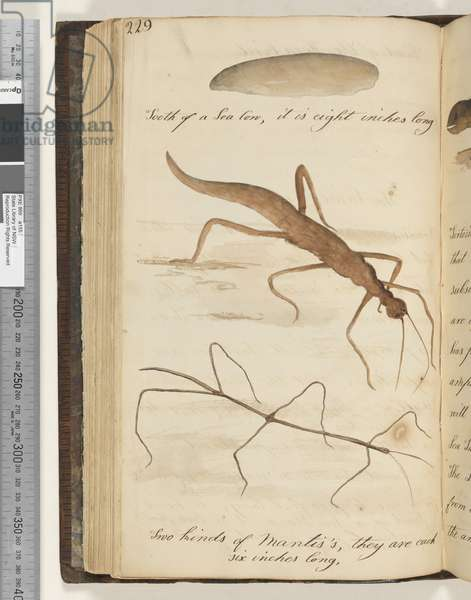 Page 229. Tooth of a Sea Cow; two kinds of Mantis's 2 drawings, 1810-17 (w/c & manuscript text)