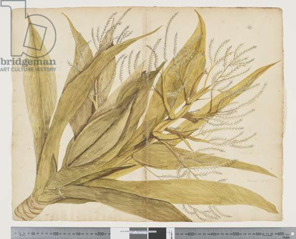 F.4 Cordyline obtecta, c.1790-95 (w/c & ink on paper)