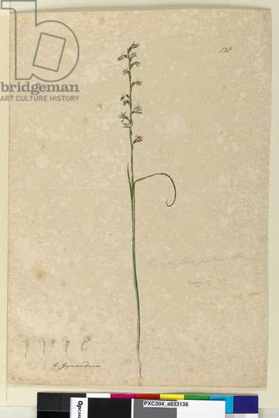 Page 138. Prasophyllum patens, c.1803-06 (w/c, pen, ink and pencil)