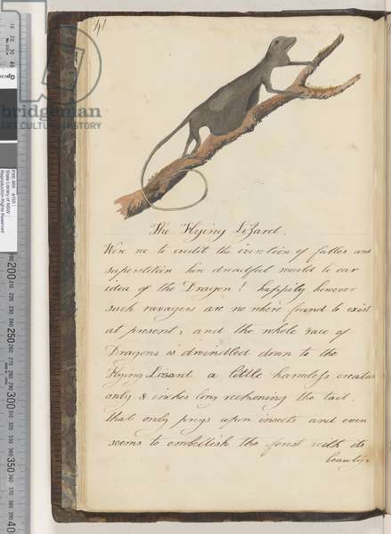 Page 41. The Flying Lizard., 1810-17 (w/c & manuscript text)