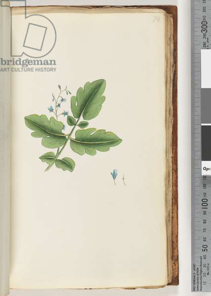 Page 74.  Unidentified plant (w/c)