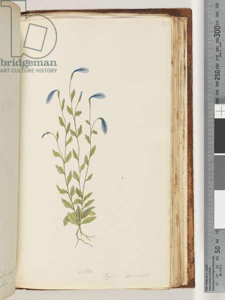 Page 173. Violet. Pigia, Decandolli (w/c)