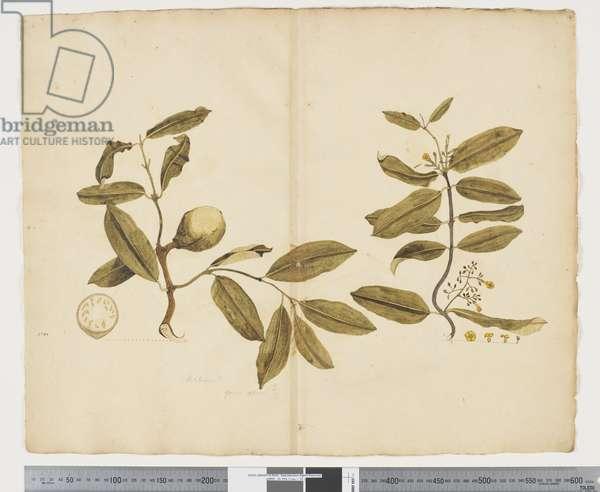 F.14 Melodinus baueri, c.1790-95 (w/c & ink on paper)