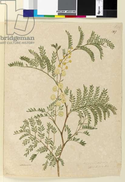 Page 149. Acacia discolor/Acacia terminalis, c.1803-06 (w/c, pen, ink and pencil)