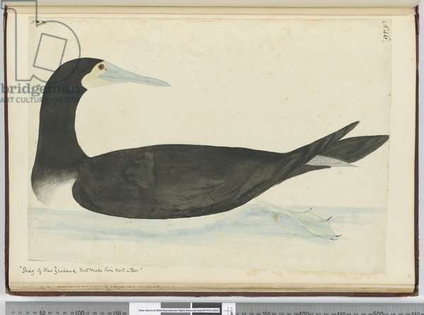 F.46 'Shag of New Zealand that make their nest in trees', 1772-75 (w/c)