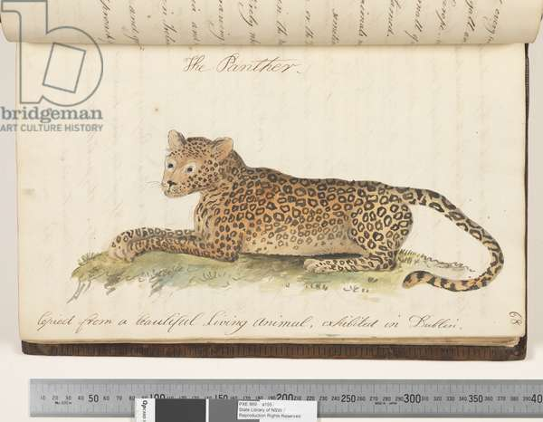 Page 68. The Panther. Copied from a beautiful living animal, exhibited in Dublin, 1810-17 (w/c & manuscript text)
