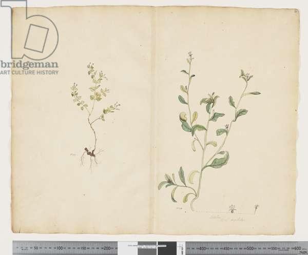 F.25 Euphorbia sparrmannii; Lobelia alata, c.1790-95 (w/c & ink on paper)