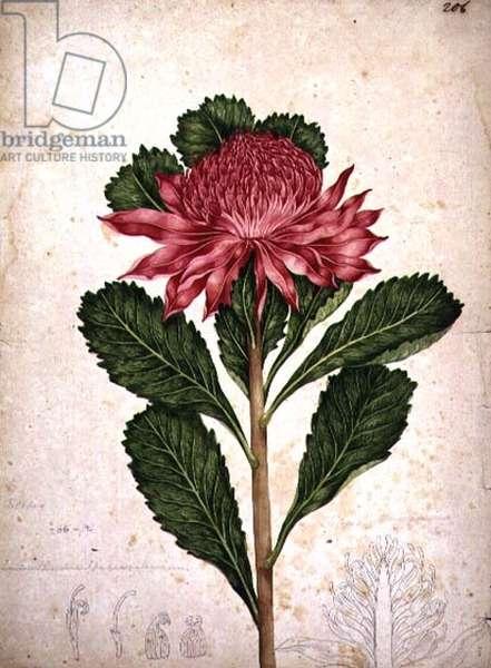 Waratah, telopea speciosissima, 1803-08 (w/c)
