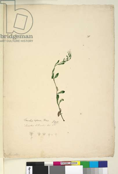 Page 38. Samolus repens, c.1803-06 (w/c, pen, ink and pencil)