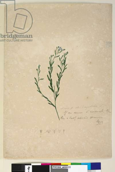 Page 182. Linum sp allied to augustifolium, c.1803-06 (w/c, pen, ink and pencil)