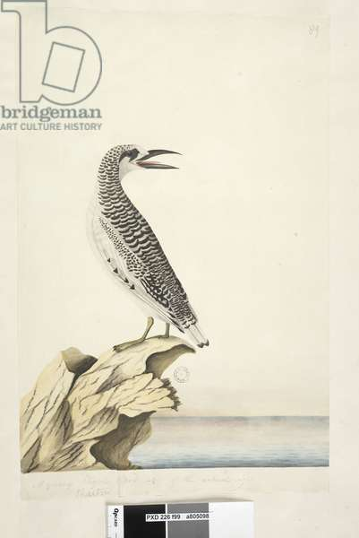 Page 99. Phaeton. in different hand A young Tropic Bird 1/2 of the natural size Red, Tailed Tropicbird Phaethon rubricauda, 1791-92 (w/c)