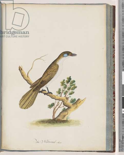 Page 61. Blue-faced Honeyeater. Turdus cyanoris. Blue-cheeked Thrush (Watling 225/146) (w/c on paper)