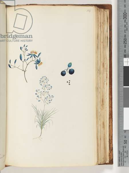 Page 114. Unnamed flowering plant (Watling 450/385) (w/c)