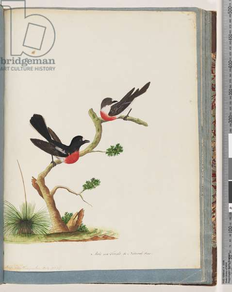 Page 73. Scarlet Robins (male and female). Muscicapa Crythrogastra (w/c on paper)