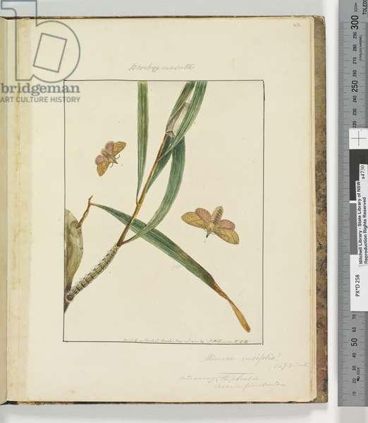 Page 43. Plate 11 Bombyx Nasuta, 1803-04 (hand-coloured etching)