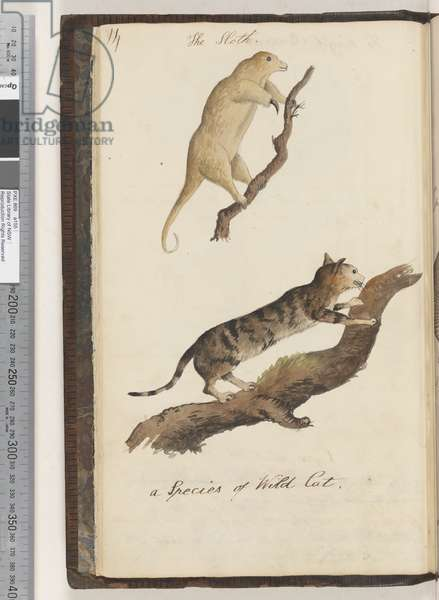 Page 14. The Sloth; a Species of Wild Cat, 1810-17 (w/c & manuscript text)