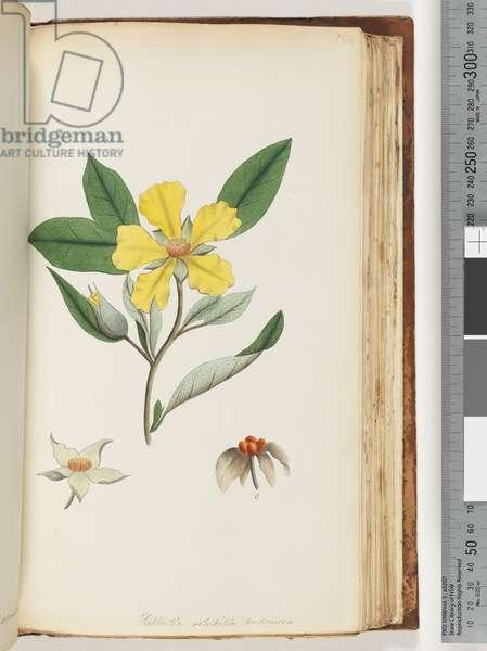 Page 154. Hibbertia volubilis / Andrews Guinea Flower (w/c)
