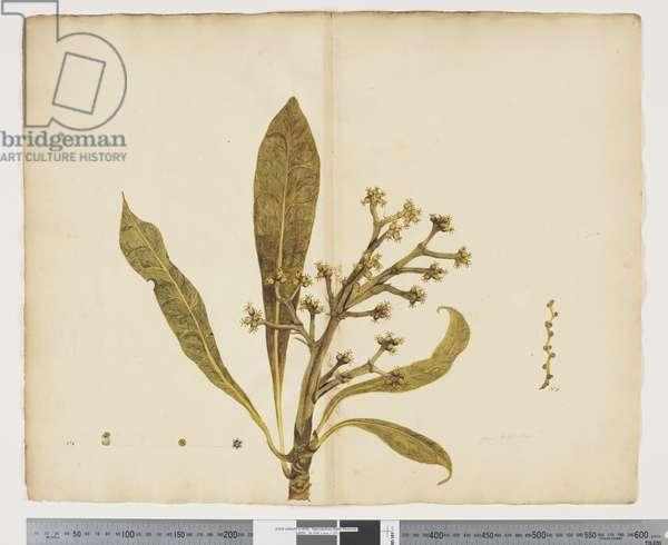 F.5 Meryta angustifolia, c.1790-95 (w/c & ink on paper)