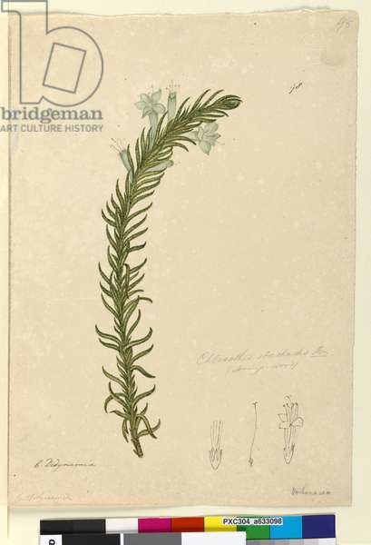 Page 98. Chloanthes stoechadis, c.1803-06 (w/c, pen, ink and pencil)