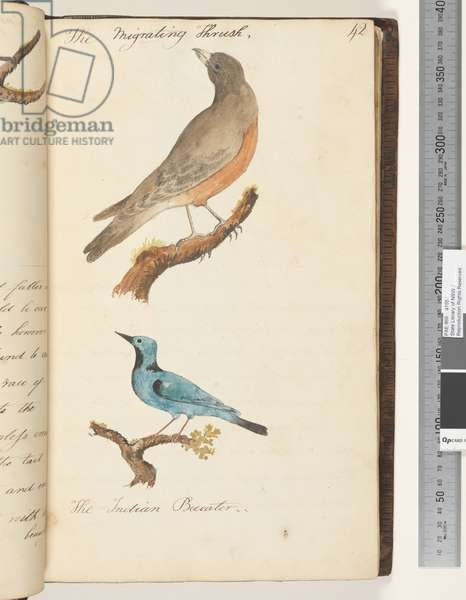 Page 42. The Migrating Thrush; the Indian Bee eater, 1810-17 (w/c & manuscript text)