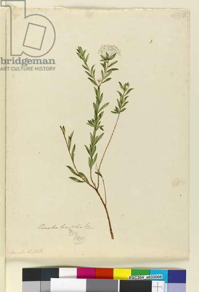 Page 3. Pimelea linifolia, c.1803-06 (w/c, pen, ink and pencil)