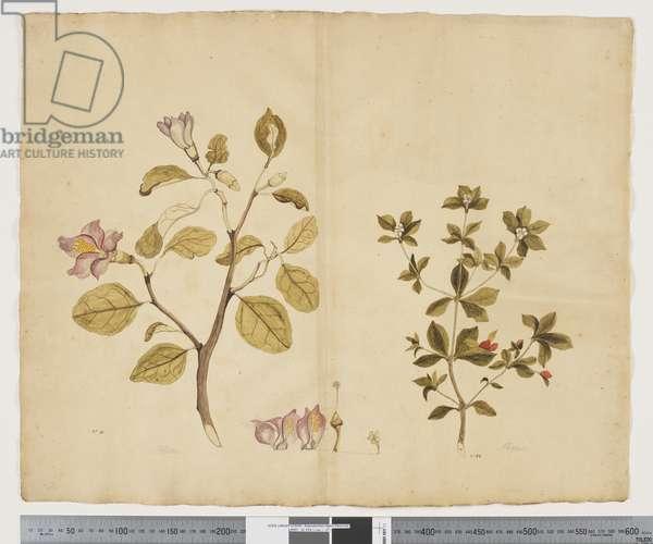 F.15 Lagunaria Patersonia; Alyxia gynopogon, c.1790-95 (w/c & ink on paper)