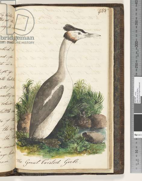 Page 438. The Great Crested Grebe, 1810-17 (w/c & manuscript text)