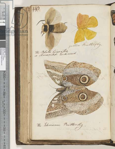 Page 449. The Blata Gigantea or American Cockroach; yellow Butterfly; the Idomenus Butterfly, 1810-17 (w/c & manuscript text)