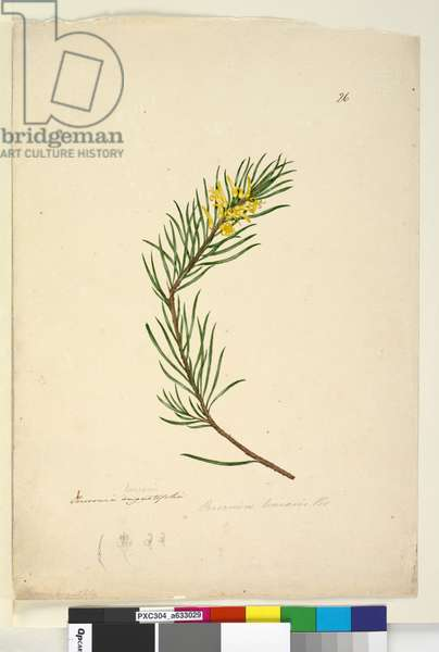 Page 26. Persoonia linearis, c.1803-06 (w/c, pen, ink and pencil)