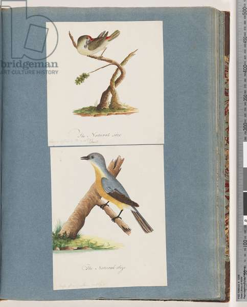 Page 62. Red-browed Finch. Loxia astrild. 63. Unidentified bird. Muscicapa flavigastra (w/c on paper)
