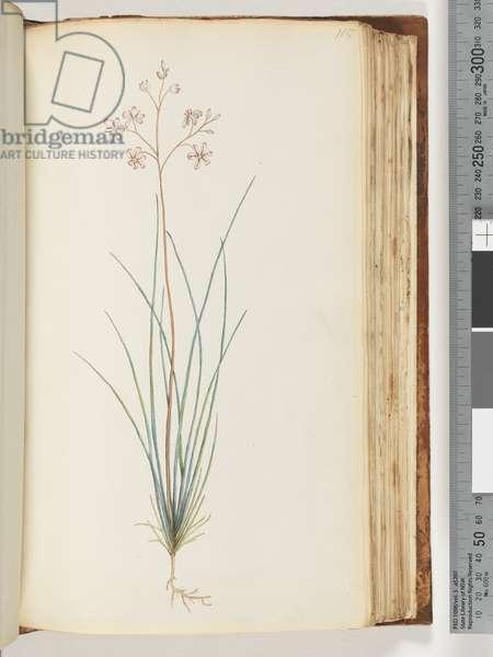 Page 115. Unidentified plant (w/c)
