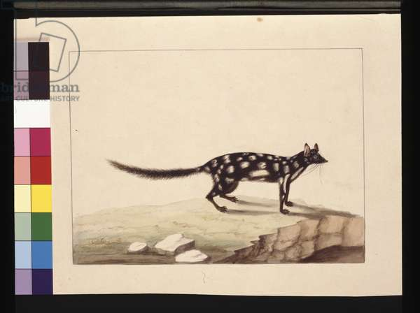 Page 28. A Tapoa Tafa. Now known as a Dasyurus quoll. Appears to be a Sarah Stone copy of a Charles Catton Junr. plate, c.1789-90 (w/c)