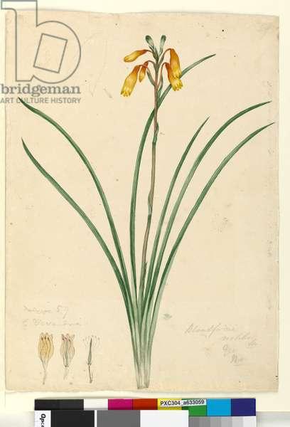Page 59. Blandfordia nobilis, c.1803-06 (w/c, pen, ink and pencil)