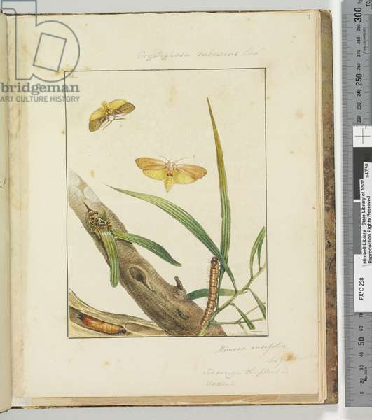 Page 7. Pl.2 Cryptophasa Rebescens Lew, 1803-04 (hand-coloured etching)