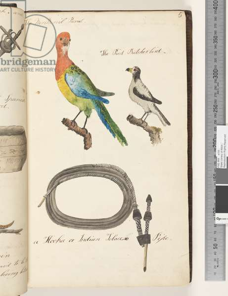 Page 5. The Nonpareil Parrot Eastern Rosella?; the Pied Butcherbird; a hooka or Indian tobacco pipe, 1810-17 (w/c & manuscript text)