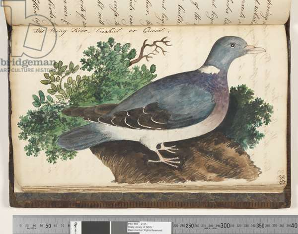 Page 352. The King Dove, Cushat or Queest, 1810-17 (w/c & manuscript text)