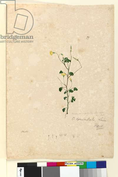 Page 79. Oxalis corniculata, c.1803-06 (w/c, pen, ink and pencil)