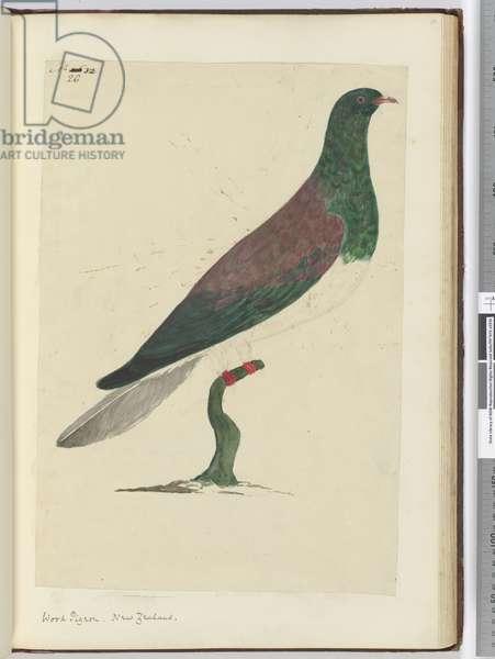 F.26 Wood pigeon. New Zealand, 1772-75 (w/c)