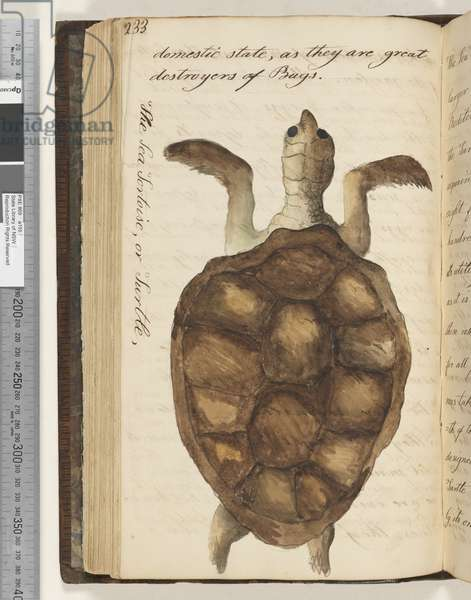 Page 233. The Sea Tortoise, or Turtle, 1810-17 (w/c & manuscript text)